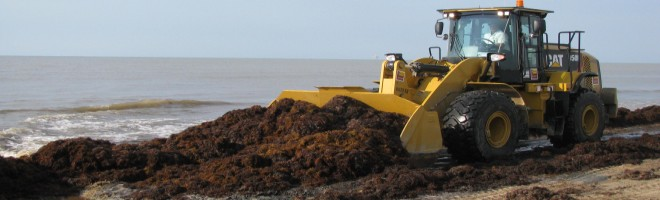 Heavy equipment is used to gather the Sargassum weed from the shoreline and deposit it to help rebuild the sandy dunes.