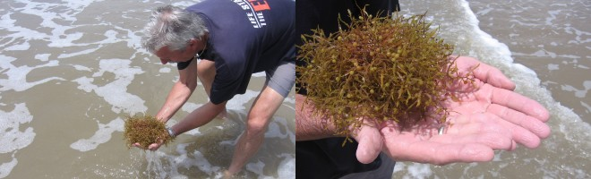 Small marine life can be found clinging to the Sargassum weed.